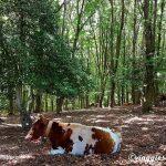 foresta-umbra-mucche.jpg